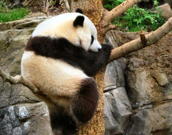 panda-3-9-lanzado