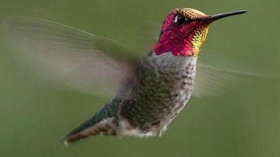 colibri-hummingbird-google